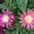 "Ice Plant - Red Mountain  Light: Sun Zone: 6 Size: 2-3"" Bloom Time: June-August Color: Salmon Pink Soil: Sandy, Well-Drained"