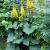 Ligularia-The Rocket  Light: Shade Zone: 4 Size: 4' Bloom Time: August/September Color: Yellow Soil: Well-Drained, Moist