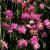 "Lychnis-Petite Jenny  Light: Sun Zone: 4 Size: 24-36"" Bloom Time: June-July Color: Pink Soil: Well-Drained, Dry"