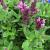 "Salvia-New Dimension Rose  Light: Sun Zone: 5 Size: 12-15"" Bloom Time: June-August Color: Pink Soil: Tolerant"