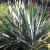 Yucca-Hairy  Light: Sun Zone: 4 Size: 3-5' Bloom Time: July Color: White Soil: Not Wet