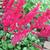 "Astilbe - Fanal  Light: Part Shade  Zone: 4 Size: 24"" Bloom Time: July  Color: Red  Soil: Rich, Moist, Organic"