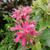 Beebalm - Marshall's Delight   Light: Sun/Light Shade Zone: 4 Size: 3-4' Bloom time: July-August  Color: Pink  Soil: Moist