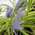 "Camassia - Blue Melody  Light: Sun Zone: 4 Size: 28-36"" Bloom Time: May-June Color: Violet Blue Soil: Moist"