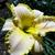 "Daylily - Bridgeton Elegance   Light: Sun/Part Shade Zone: 4 Size: 25"" Bloom Time: July/August  Color: Pale Apricot Soil: Moist, Well-Drained"
