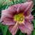 "Daylily - Happy Ever App. Rosy Returns  Light: Sun/Part Shade Zone: 4 Size: 14""X24"" Bloom Time: June-October Color: Rose Pink Soil: Moist, Well-Drained"
