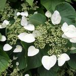 Hydrangea - Japanese Climbing Pink  Light: Sun/Part Shade Zone: 5/6 Size: 25-40' Bloom Time: July-September Color: Pink Soil: Well-Drained, Moist, Humus Rich