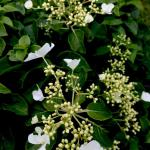 Hydrangea - Climbing  Light: Sun/Part Shade Zone: 4 Size: 20' Bloom Time: July/August Color: White Soil: Well-Drained, Moist, Humus Rich