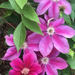 Clematis - Kilian Donahue  Light: Sun Zone: 4 Size: 8-12' Bloom Time: June-September Color:Fuchsia/Lavender Soil: Well-Drained