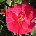 Rose - Climbing Highwire Flyer   Light: Sun Zone: 5 Size: 8' x 4' Bloom Time: June-September Color: Electric Pink Soil: Well-Drained, Fertile